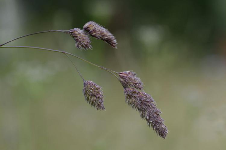 Dactyle aggloméré © Dominique Vincent - Parc national des Ecrins