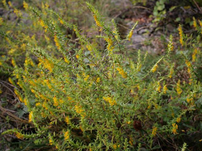 Euphraise jaune © Marie-Geneviève Nicolas - Parc national des Ecrins