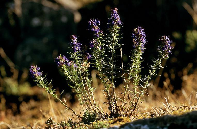Hysope © Bernard Nicollet - Parc national des Ecrins