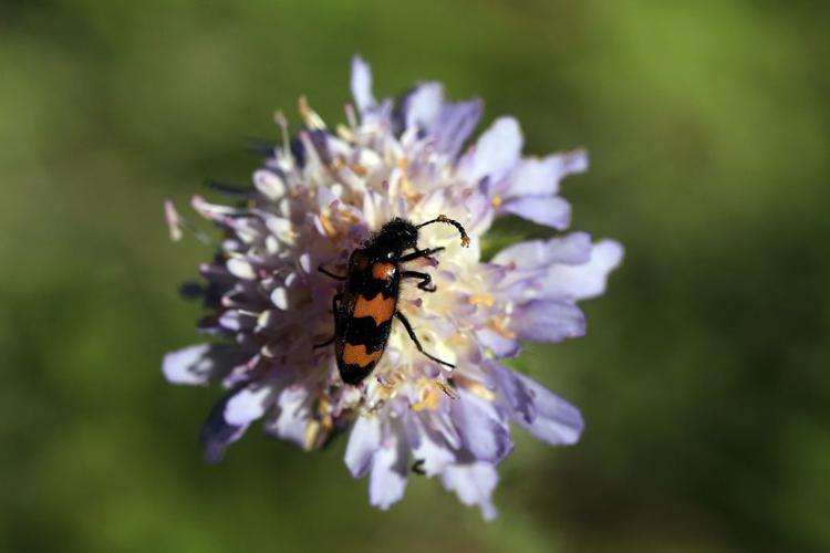 Mylabris variabilis © Marc Corail - Parc national des Ecrins