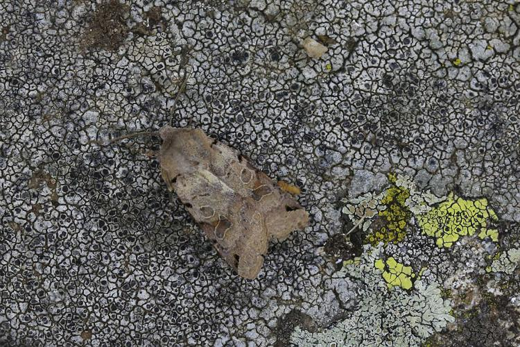 La Xanthie liturée © Marc Corail - Parc national des Ecrins