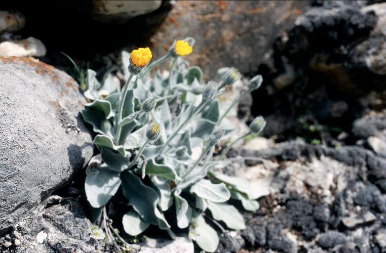 Hieracium tomentosum © Parc national des Ecrins