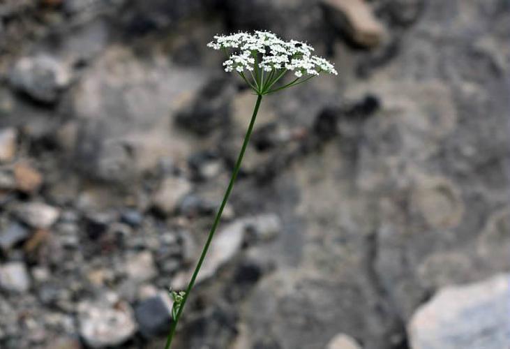 Noix de terre © Cédric Dentant - Parc national des Ecrins