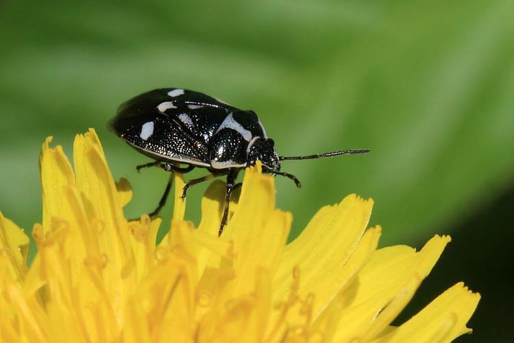 Eurydema oleracea © Marc Corail - Parc national des Ecrins