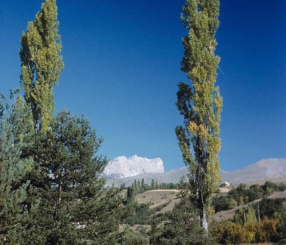 Populus nigra var. italica © Bernard Nicollet - Parc national des Ecrins