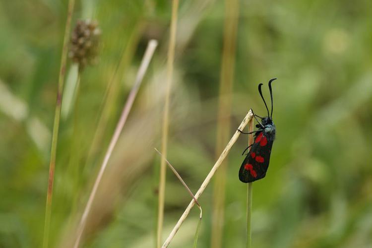 Zygaena filipendulae © Marc Corail - Parc national des Ecrins