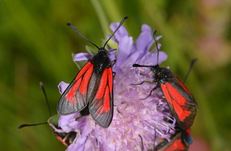 Zygaena purpuralis © Jean Raillot - GRENHA