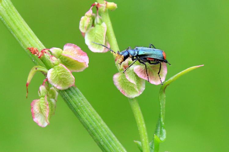 Cordylepherus viridis © Marc Corail - Parc national des Ecrins
