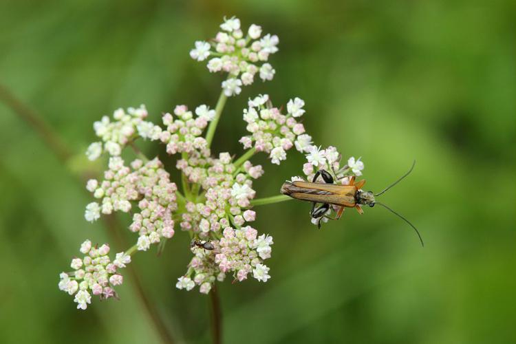 Oedemera femorata © Marc Corail - Parc national des Ecrins