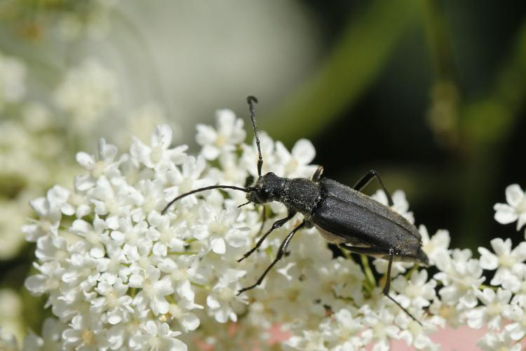 Stenullera nigra © Marc Corail - Parc national des Ecrins