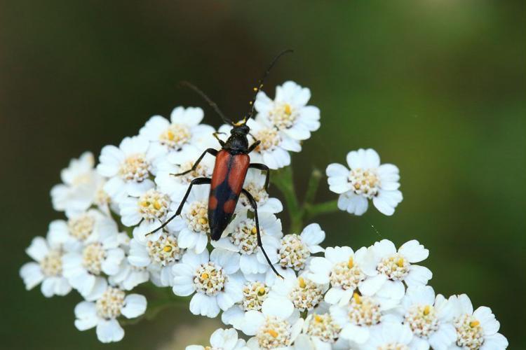 Stenullera bifasciata - femelle © Marc Corail - Parc national des Ecrins