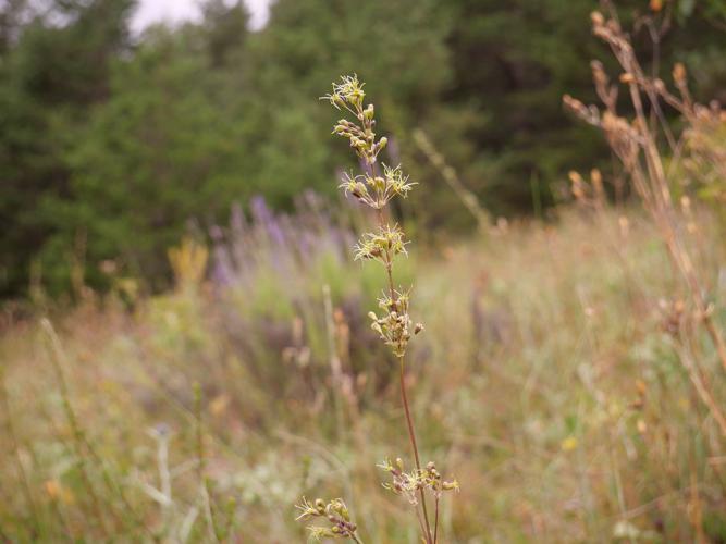 Silène cure-oreille © Marie-Geneviève Nicolas - Parc national des Ecrins