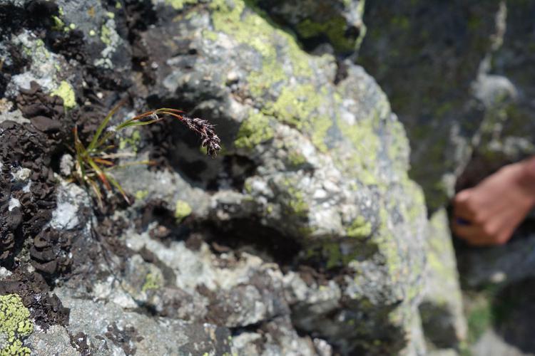 Luzule en épis © Cédric Dentant - Parc national des Ecrins