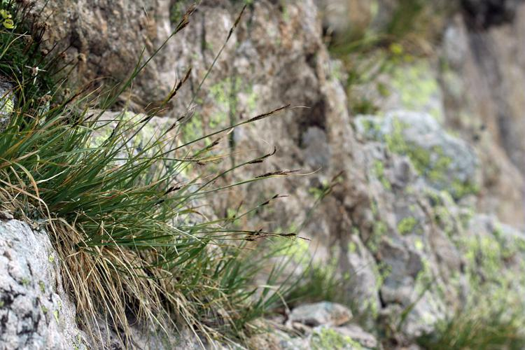 Laîche frangée © Cédric Dentant - Parc national des Ecrins