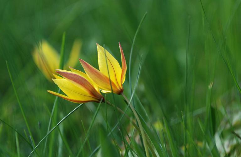 Tulipe des Alpes © Bernard Nicollet - Parc national des Ecrins