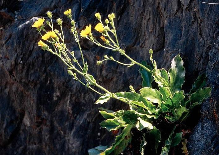Epervière amplexicaule © Parc national des Ecrins
