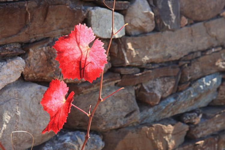 Vigne cultivée - Feuilles à l'automne © Michel Bouche - Parc national des Ecrins