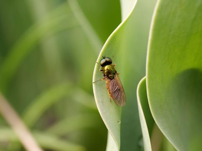 Chloromyia formosa - mâle © Marie-Geneviève Nicolas - Parc national des Ecrins