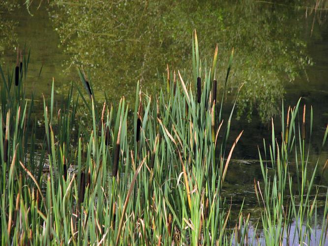 Massette à larges feuilles © Christophe Albert - Parc national des Ecrins