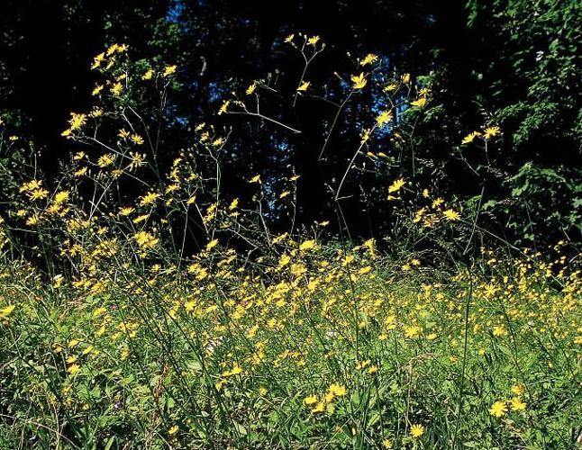 Lampsane commune © Stéphane D'houwt - Parc national des Ecrins
