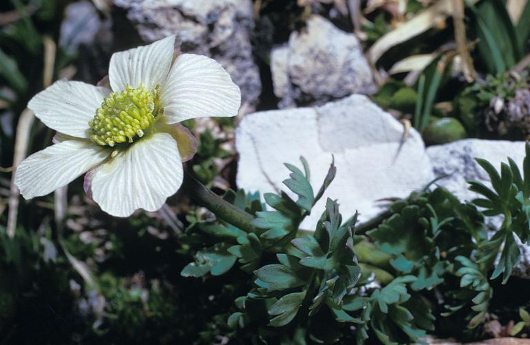 Renoncule à feuilles de Rue © Parc national des Ecrins