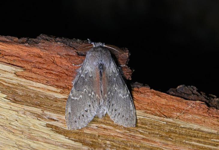 Stauropus fagi - Ecureuil (L') -  mâle © Jean Raillot - GRENHA