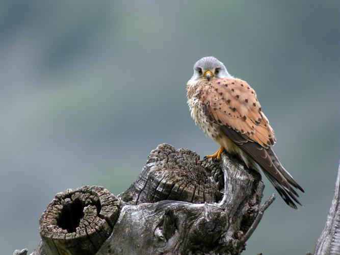 Faucon crécerelle © Damien Combrisson - Parc national des Ecrins