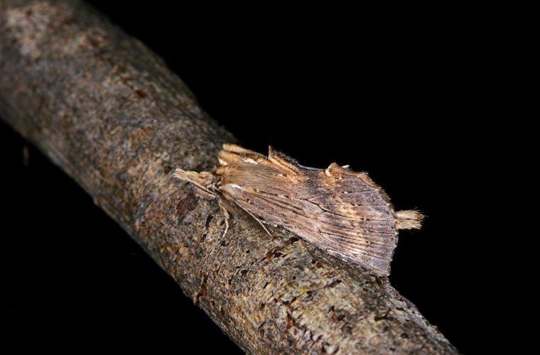 Museau (Le) - Pterostoma palpina - mâle ©