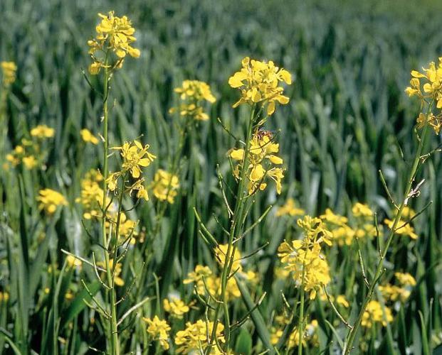Moutarde des champs © Bernard Nicollet - Parc national des Ecrins