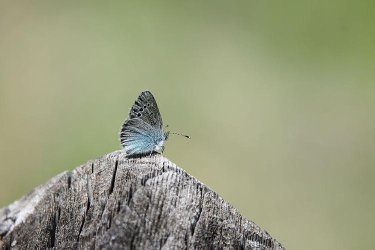 Azuré des Cytises (L') © Mireille Coulon - Parc national des Ecrins