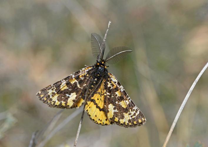Fidonie plumeuse (La) -  Eurranthis plummistaria - mâle © Jean Raillot - GRENHA