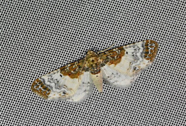 Eupithécie rouillée (L') - Eupithecia breviculata © Jean Raillot - GRENHA