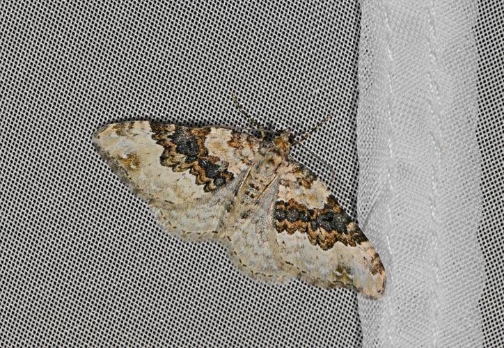 Mélanthie du Caille-Lait (La) - Epirrhoe galiata © Jean Raillot - GRENHA