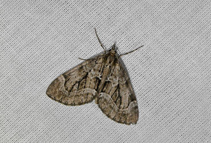 Lobophore du Genévrier (La) - Epilobophora sabinata © Jean Raillot - GRENHA