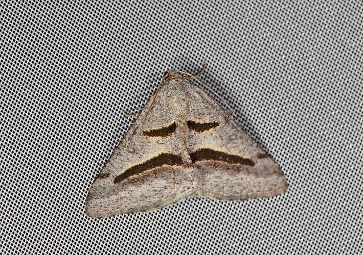 Philobie de Rippert (La) -  Digrammia rippertaria © Jean Raillot - GRENHA