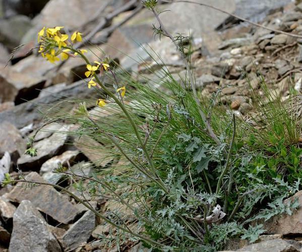 Fausse Giroflée - Coincya monensis subsp. cheiranthos © Bernard Nicollet - Parc national des Ecrins