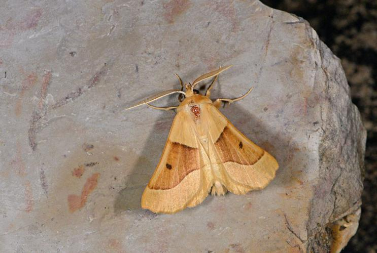 Phalène de la Mancienne (La) - Crocallis elinguaria - mâle © Jean Raillot - GRENHA