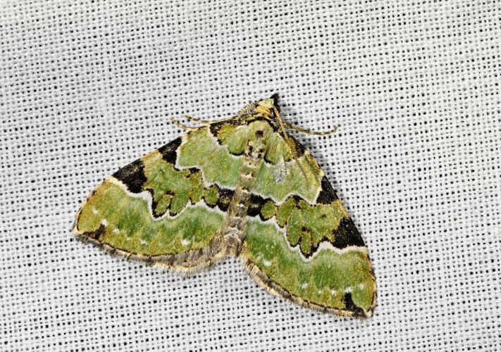 Cidarie verdâtre (La) - Colostygia pectinataria © Jean Raillot - GRENHA