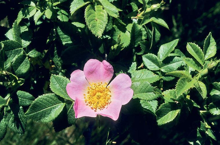 Rosier rubigineux - Rosa rubiginosa © Bernard Nicollet - Parc national des Ecrins
