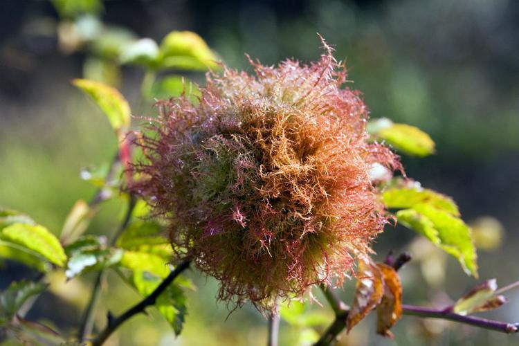 Galle provoquée par le cynips du rosier © Bernard Nicollet - Parc national des Ecrins