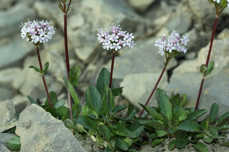 Valériane à feuilles rondes - Valeriana rotundifolia © Cédric Dentant - Parc national des Ecrins