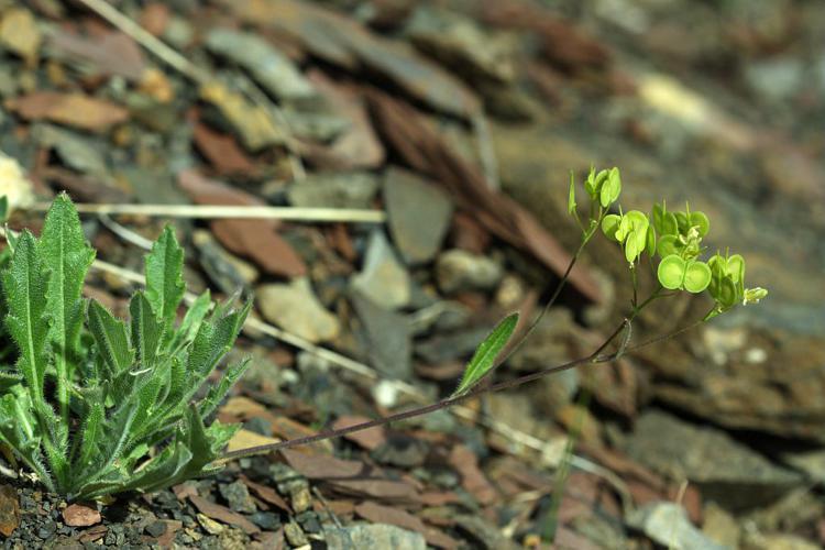 Lunetière lisse, Biscutelle commune © Cédric Dentant - Parc national des Ecrins