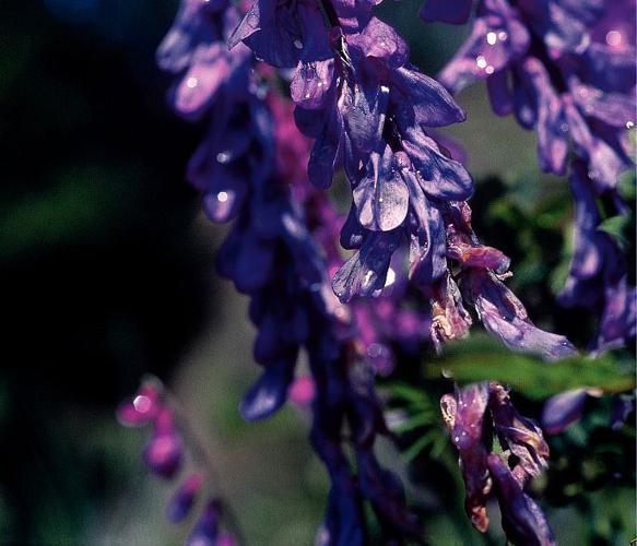 Vesce à petites feuilles © Daniel Roche - Parc national des Ecrins