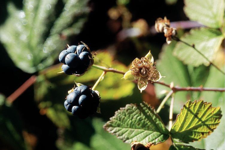 Rosier bleue, Ronce à fruits bleus, Ronce bleue © Bernard Nicollet - Parc national des Ecrins