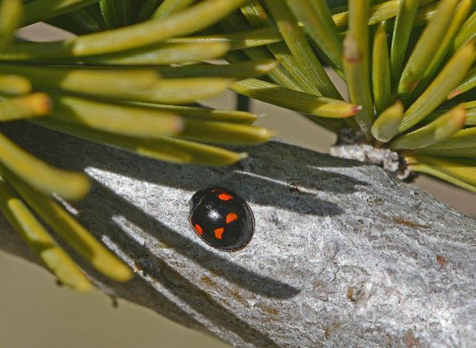 Exochomus quadripustulatus © Jean Raillot - GRENHA