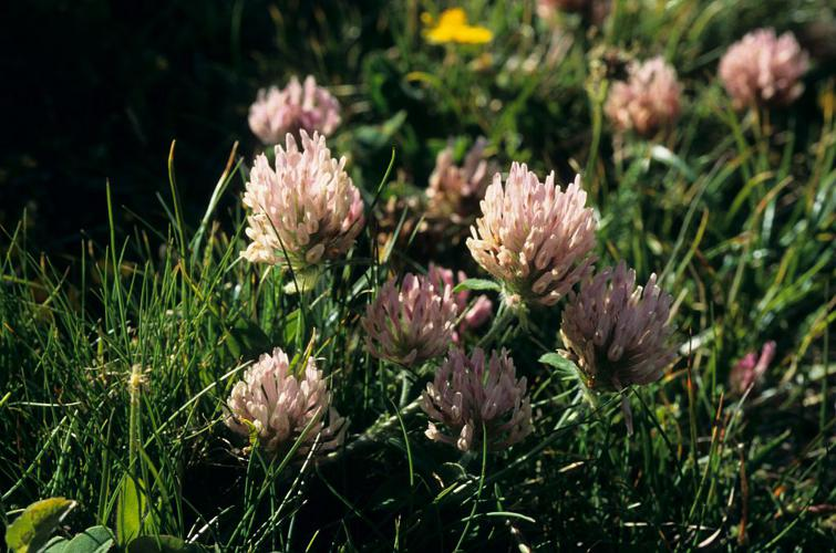 Trèfle des neiges - Trifolium pratense var. villosum © Bernard Nicollet - Parc national des Ecrins