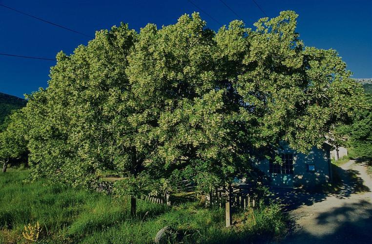 Tilleul à grandes feuilles © Claude Dautrey - Parc national des Ecrins