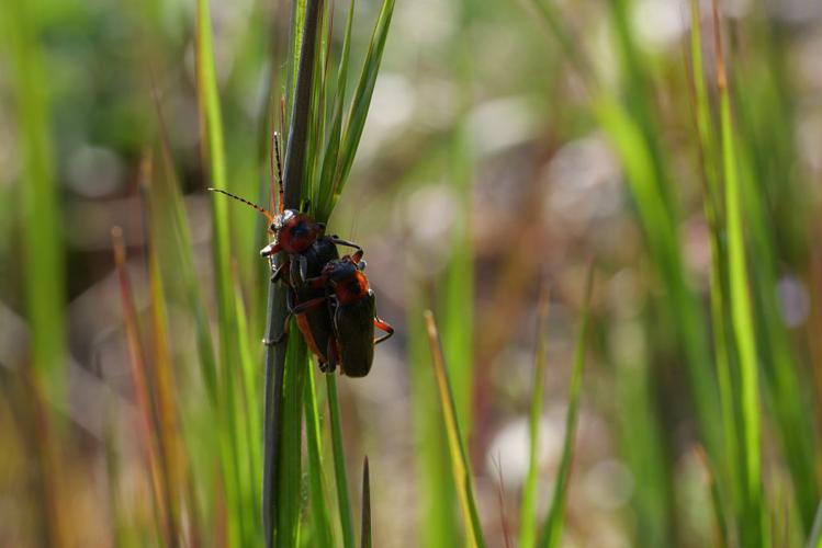 Cantharis rustica © Marie-Geneviève Nicolas - Parc national des Ecrins