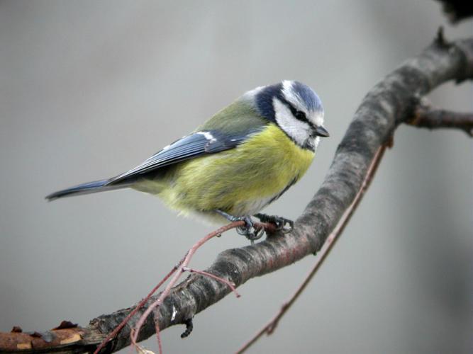 Mésange bleue © Damien Combrisson - Parc national des Ecrins