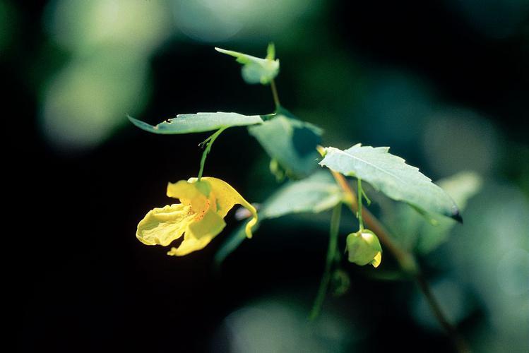 Balsamine des bois, Impatiente ne-me-touchez-pas, Impatiente n'y-touchez-pas © Parc national des Ecrins
